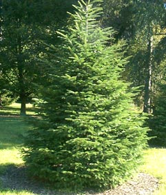 Organic Fir Silver Essential Oil (Abies alba)