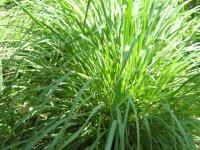 Organic Citronella Essential Oil Cymbopogon Winterianus Nardus