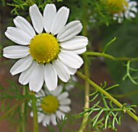 Organic German Blue Chamomile Essential Oil (Matricaria recutita)
