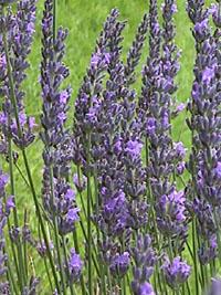 Organic Lavandin Super Essential Oil Lavandula Hybrida Super