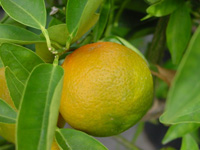 *SALE - Many Sizes* Organic Mandarin Essential Oil - Green (Citrus reticulata)