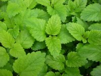 Organic Melissa Essential Oil - Lemon Balm (Melissa officinalis)