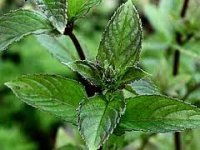*SALE - 50% OFF 10ml ONLY* Organic Spearmint Essential Oil (Mentha spicata)