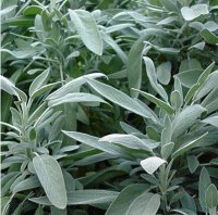 *SALE - 50% OFF Many Sizes* Organic Spanish Sage Essential Oil - Mild (Salvia lavandulaefolia)
