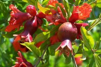 Organic Pomegranate Seed Oil (Punica granatum)