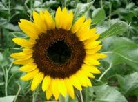 Organic Sunflower Oil (Helianthus annuus)