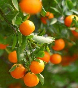 Organic Tangerine Essential Oil Citrus Reticulata