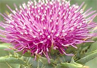 Organic Milk Thistle Oil (Silybum marianum)