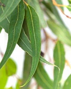 *SALE - Many Sizes* Organic Eucalyptus Staigeriana Essential Oil (Eucalyptus staigeriana)