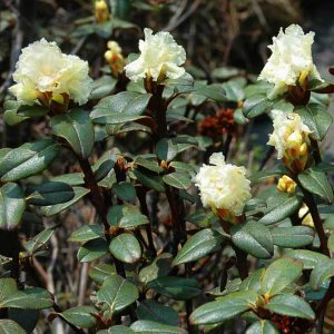 Organic Rhododendron Essential Oil (Rhododendron anthopogon)