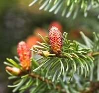 Organic Fir Grand Essential Oil (Abies grandis)