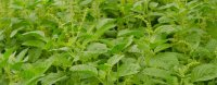*NEW* Organic Holy Basil Essential Oil (Ocimum sanctum)