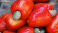 *NEW* Organic Cashew Nut Oil (Anacardium occidentale)